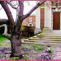 Cherry Blossom Tree in Front of All Souls Church